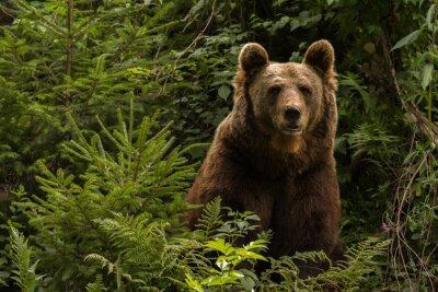 Наклейка Eurasian brown bear