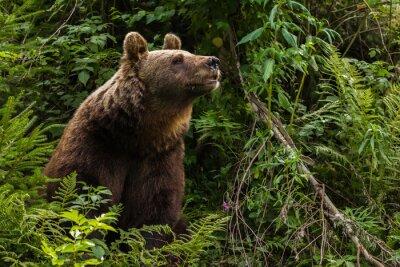 Наклейка Евразийский бурый медведь