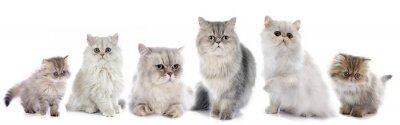 Наклейка Семья персидские кошки