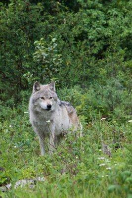 Наклейка Женский серый волк в открытом лугу возле Голден, Британская Колумбия