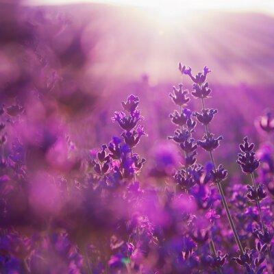 Наклейка поле цветы лаванды