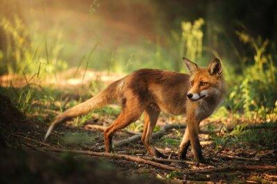 Наклейка Фокс на летнем лесу