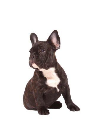 Наклейка Французский бульдог щенок (3 месяца) - Ключевые слова
