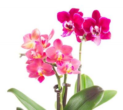 Наклейка Свежие розовые орхидеи в горшке