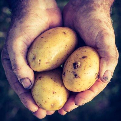 Наклейка Свежий картофель в руках