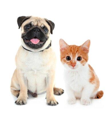 Наклейка Забавный мопс собака и маленький рыжий котенок на белом