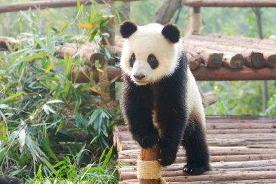 Наклейка Giant Panda с любопытством стоя, Чэнду, Сычуань, Китай