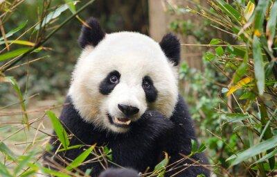 Наклейка Гигантская панда питания бамбука, Чэнду, Китай