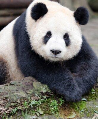 Наклейка Giant Panda создает для камеры, Чэнду, Сычуань, Китай
