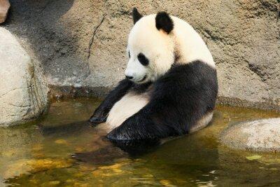Наклейка Гигантская панда сидит в воде