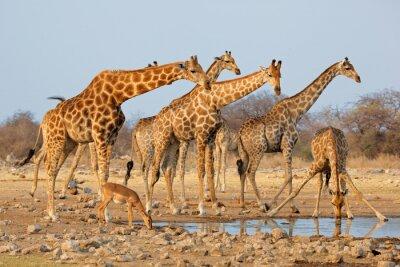 Наклейка Жираф стадо (Giraffa Жираф) на водопое, Национальный парк Этоша, Намибия.