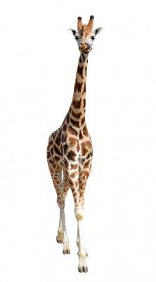 Наклейка жираф на белом фоне
