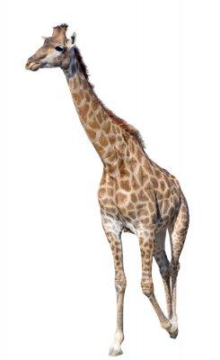 Наклейка Жираф, изолированных на белом фоне