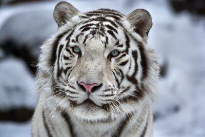 Наклейка Гламур Портрет молодой белый бенгальский тигр