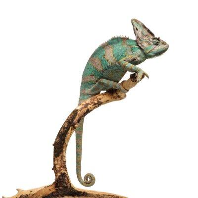 Наклейка Зеленовато-коричневый хамелеон на ветке