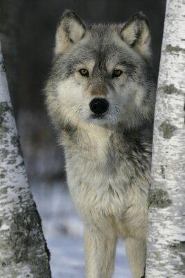 Наклейка Серый волк, Canis волчанка