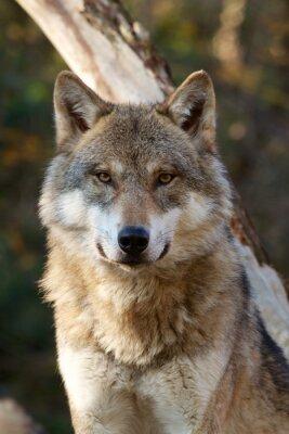 Наклейка Серый волк - Canis Lupus