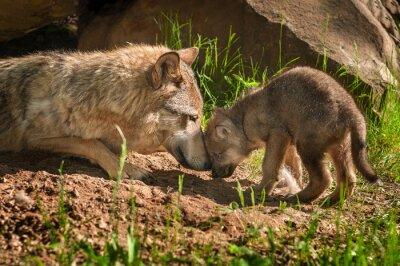 Наклейка Серый Волк (Canis волчанка) Мать и щенок TouchOutside Ден