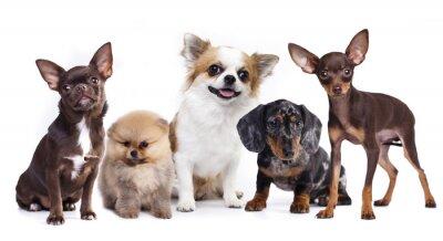 Наклейка группа маленьких декоративных собак компаньонов