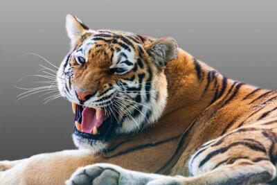 Наклейка рычание тигра