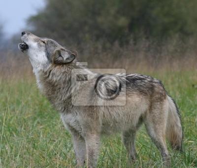 Наклейка Вой волка