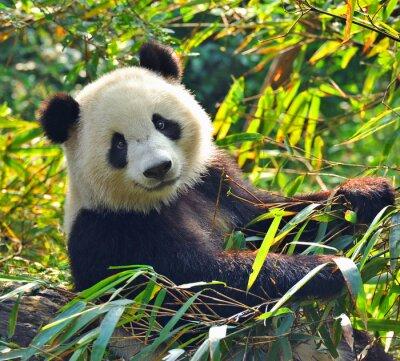 Наклейка Голодный гигантская панда медведь ест бамбук