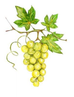 Наклейка Иллюстрация - зеленый виноград