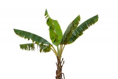 Наклейка Isolated banana tree on white background.