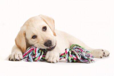 Наклейка Лабрадор щенок кусает в цветном игрушки