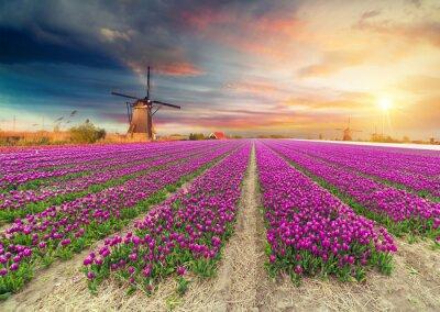 Наклейка Пейзаж с тюльпанами, традиционными голландскими ветряными мельницами и домами возле канала в Заансе Сханс, Нидерланды, Европа