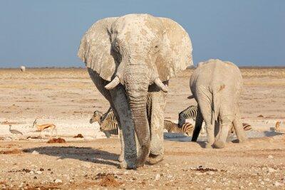 Наклейка Большой африканский слон (Loxodonta Африкана) быка в грязи, Национальный парк Этоша, Намибия.