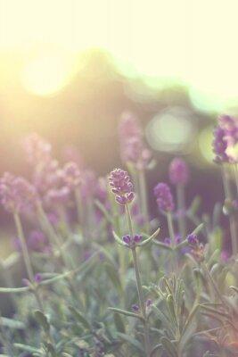 Наклейка Lavendel им Gegenlicht