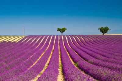 Наклейка Лаванда цветок цветущие душистые поля