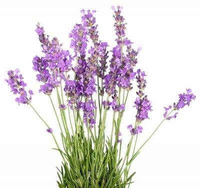 Наклейка Lavender, Lavender Coloured, Flower.