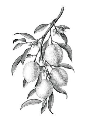 Наклейка Лимонная ветка иллюстрация черный и белый старинные клипа изолировать на белом фоне