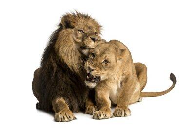 Наклейка Лев и львица объятия, ложь, пантеры Лео, изолированный