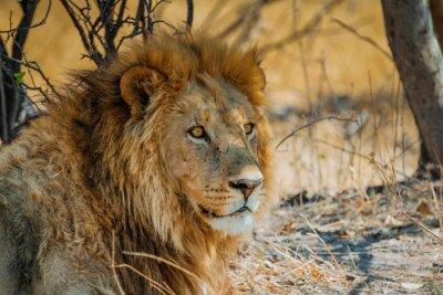 Наклейка Лев в Африке