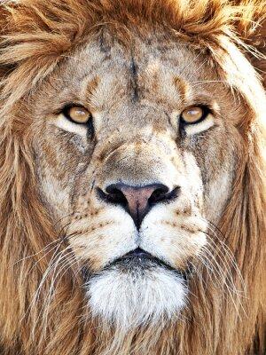 Наклейка Лев (пантеры Лео)