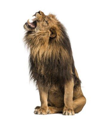 Наклейка Лев рев, сидя, пантеры Лео, 10 лет, изолированные