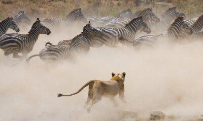 Наклейка Львица нападение на зебре. Национальный парк. Кения. Танзания. Масаи Мара. Серенгети. Отличной иллюстрацией.