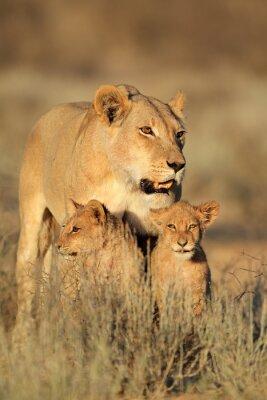 Наклейка Львица с молодыми медвежатами лев (Panthera НОО) в раннем утреннем свете, пустыни Калахари, Южная Африка.