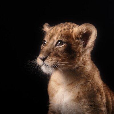 Наклейка маленький львенок на черном фоне