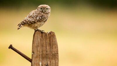Наклейка Маленькая сова на старый пост
