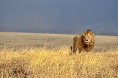 Наклейка Одинокий Лев