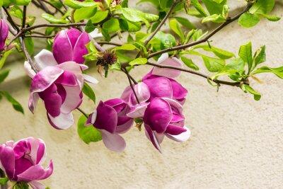 Наклейка цветы магнолии на фоне blury