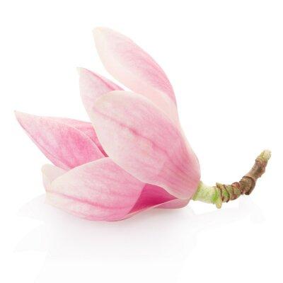 Наклейка Магнолия, розовый цветок весны на белом, отсечения путь