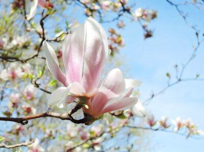 Наклейка дерево магнолии в цвету