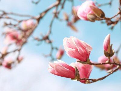Наклейка Магнолия дерево в цвету в весеннее время