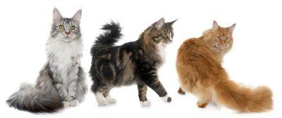 Наклейка Maine Coon кошки