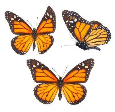 Наклейка Бабочка монарх